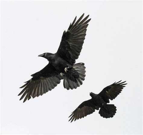 crows flying google search crows ravens pinterest