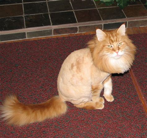 cat haircuts gone wrong pics obsession funny cat haircut