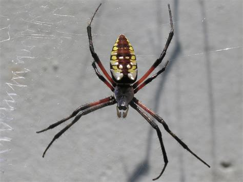 Garden Spider With Yellow Stripes Australia File Yellow Garden Spider Nashville Jpg Wikimedia Commons
