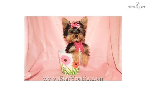 yorkie breeders in las vegas teacup terrier puppy for free in los angeles usa 10 breeds picture