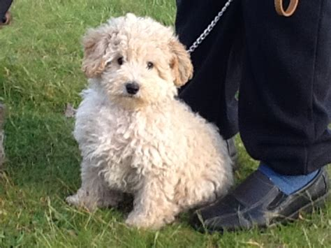 poodle puppies for sale in poodle puppies for sale burry port carmarthenshire pets4homes