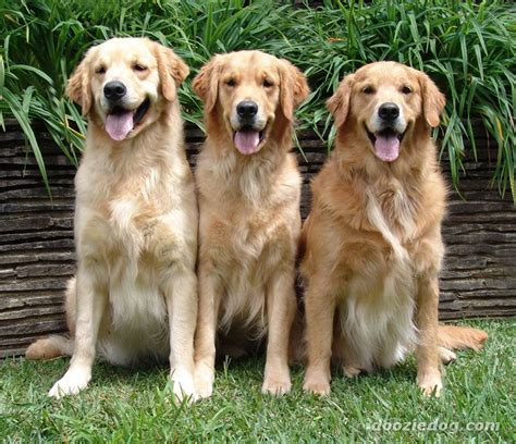 span of golden retrievers how do golden retrievers live golden retriever
