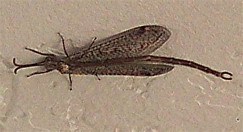 doodlebug antlion antlion what s that bug