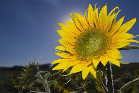 kansas sunflower 50 state flowers 1 pinterest wwe wrestlers profile kansas state flower sunflower gallery