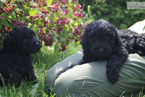 barbet puppies for sale meet a barbet puppy for sale for 2 000 curly black