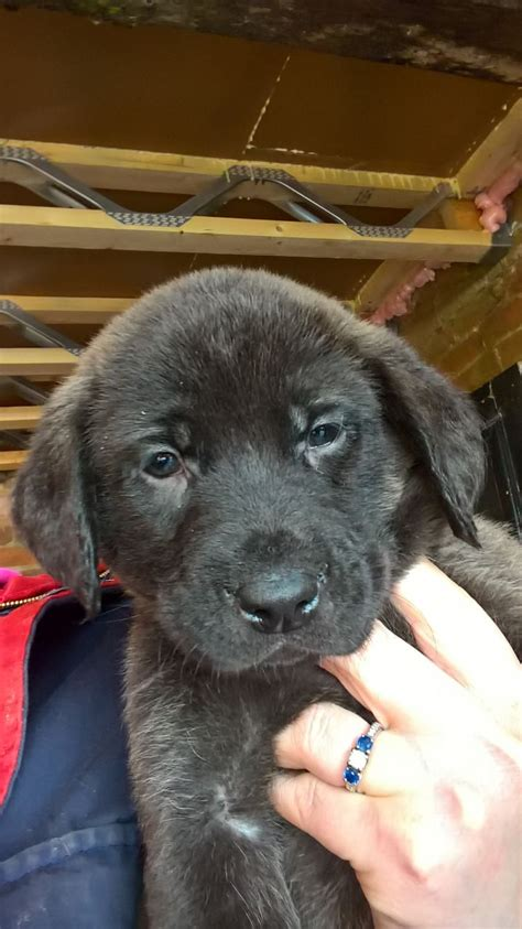 chesador puppies chesador puppies louth lincolnshire pets4homes
