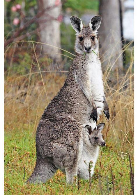 imagenes del canguro jack im 225 genes del mundo animal canguro
