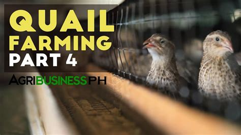sle business plan for quail farming quail farming egg production and marketing quail