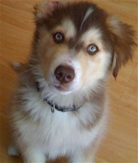 golden retriever huskie mix what happens you mix a husky and a golden retriever aww