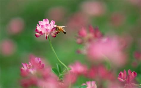 purple flower with bee wallpaper desktop 1920x1200 bee and pink flower desktop pc and mac wallpaper