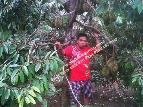 Bibit Mangga Irwin Surabaya durian musang king bibit durian montong bibit durian