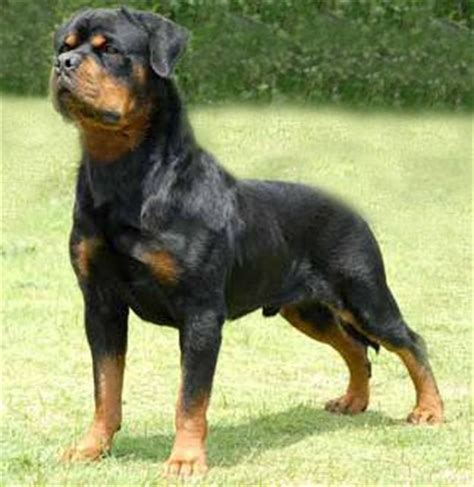 rottweiler tips for rottweiler rottweiler tips rottweiler dogs breeds picture