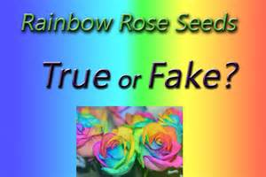Patio Roses For Sale Image Gallery Order Rainbow Rose Bush