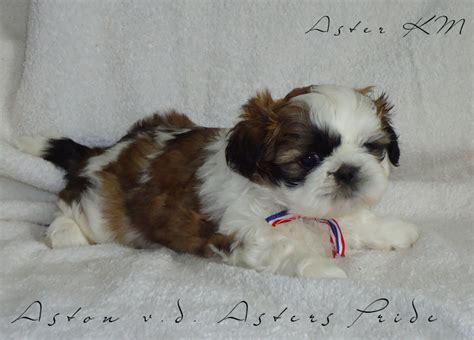 american bulldog shih tzu mix shih tzu black and whitelove dogs american bulldog shih tzu image breeds picture