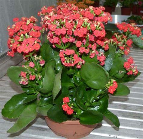 come curare le roselline in vaso kalanchoe crassulaceae come curare coltivare e far