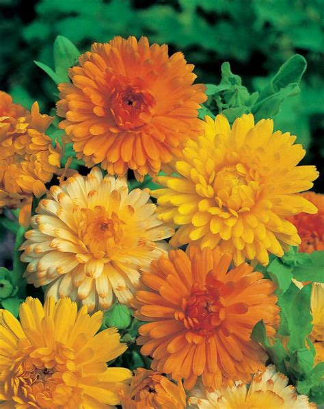 marigolds shade calendula art shades mixed calendula officinalis