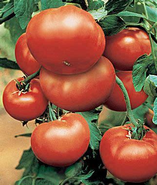 Big Hybrid Tomato 10 Benih bushsteak hybrid tomato seeds and plants vegetable gardening at burpee