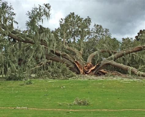 cherry tree golf course oak tree on cherry hill golf course flattened by irma villages news