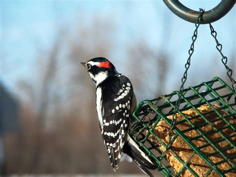 downy woodpecker photo files 1369896 freeimages com