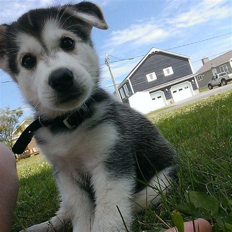 puppies that are 14 husky puppies that should be illegal