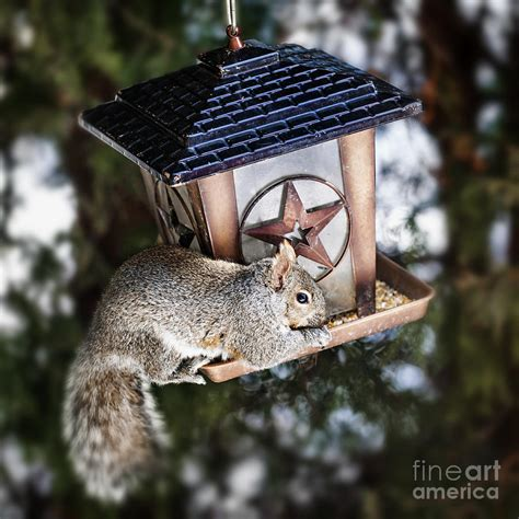 squirrel on bird feeder photograph by elena elisseeva