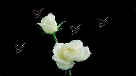 imagenes de rosas blancas para facebook rosas blancas mariposas wallpaper flores pinterest