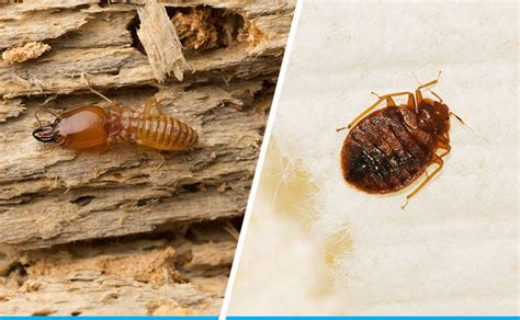 Bed Bug Pest Service by Pest Services In Dubai Cleaning Services
