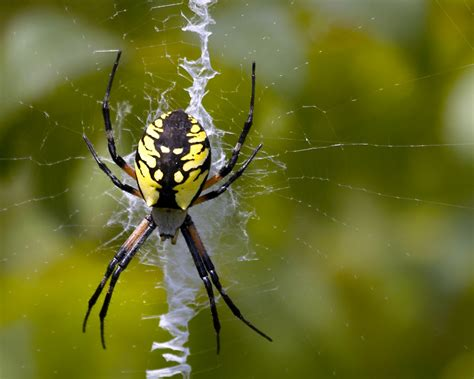Black And Yellow Garden Spider by Treknature Black And Yellow Garden Spider Photo