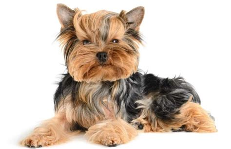 are yorkies with are yorkies hypoallergenic yorkie