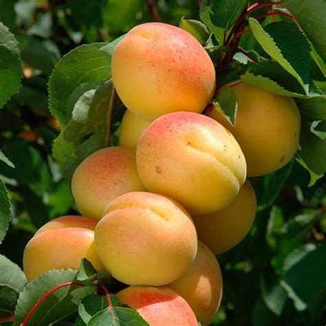 hybrid fruit tree pomona fruits buy fruit trees soft fruit bushes
