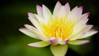 Lotus Computer Lotus Flower Wallpapers Images Photos Pictures Backgrounds