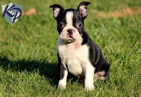 boston terrier puppies rescue miniature boston terriers for adoption 9 wide wallpaper dogbreedswallpapers