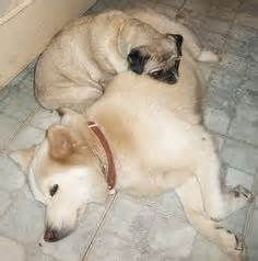 siberian husky pug mix baby pug boops your nose boop pugapalooza baby pugs