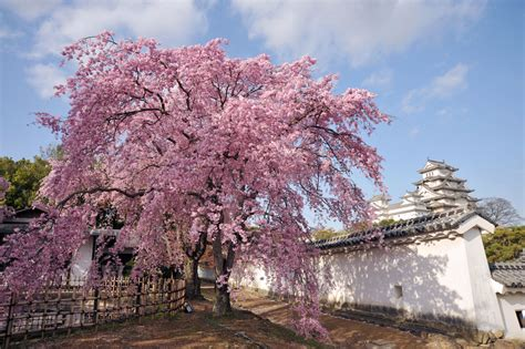 what does a cherry blossom tree symbolize choice image symbol and sign ideas cultural significance of cherry blossoms sakura hanami