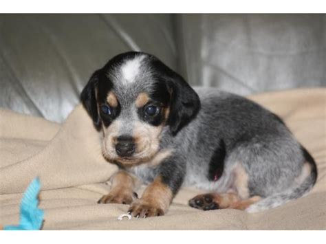 blue beagle puppies best 25 blue tick beagle ideas on blue tick hound puppy beagle puppies