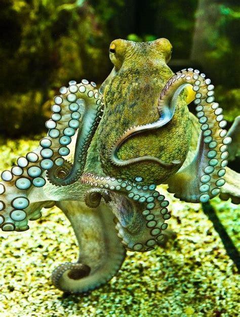 octopus l inquisitive octopus beautiful sea creatures