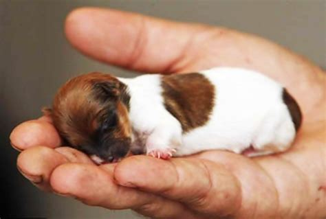 smallest breed of top 10 smallest breeds in the world