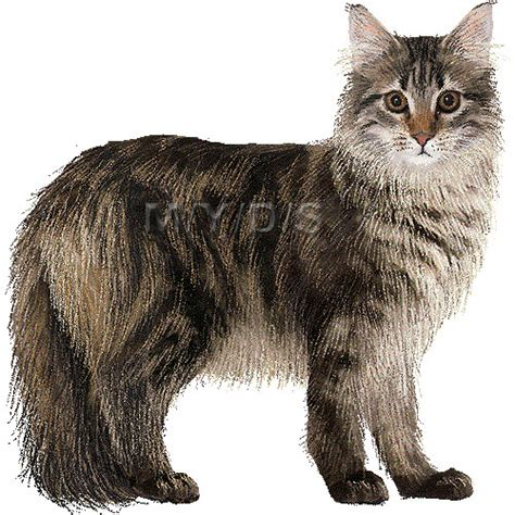gatto clipart maine coon clipart clipground