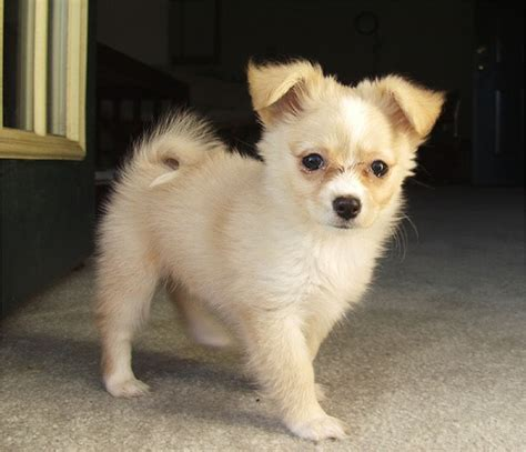 pomchi puppy this will be my pomchi animals