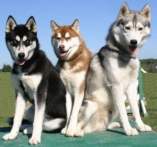 Do Siberian Husky Shed by Pictures Different Types Of Huskies Dogs Breeds Picture