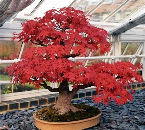 Bibit Bonsai Maple bibit bunga benih japanese maple lazada indonesia