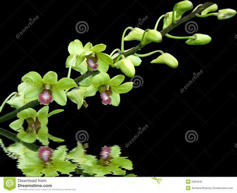 imagenes de orquideas verdes orqu 237 deas verdes foto de archivo libre de regal 237 as
