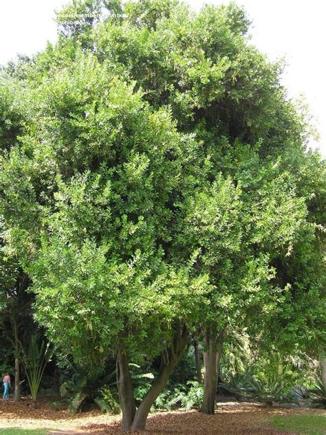 best fruit trees to grow in melbourne 78 best images about nuts macadamia on
