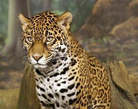 all about jaguars world all animals danger jaguars