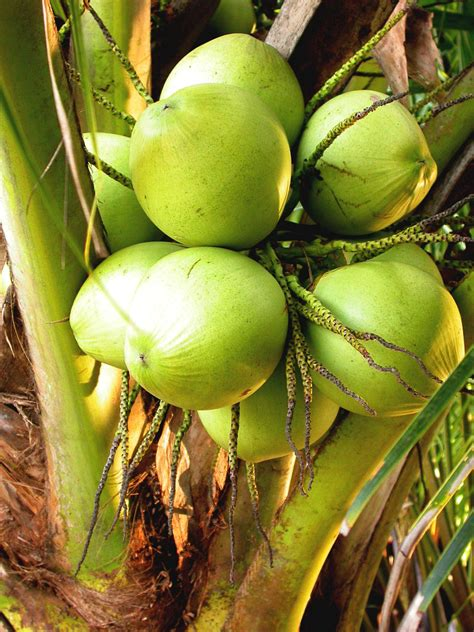 Minyak Goreng Prioritas saran untuk memulai bisnis bagi pemilik kebun kelapa