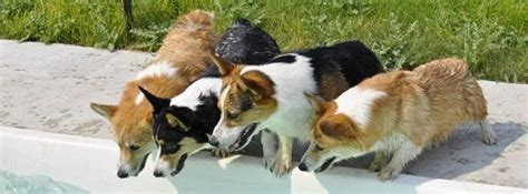 puppies for sale idaho best 25 corgi puppies for sale ideas on corgi dogs for sale tiny puppies