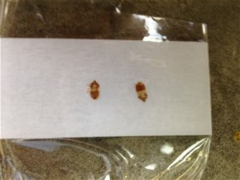 bed bug casings what does a bed bug look like bed bugs london
