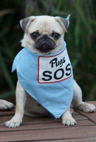 sos pugs pug rescue profile pugs sos the pug diary