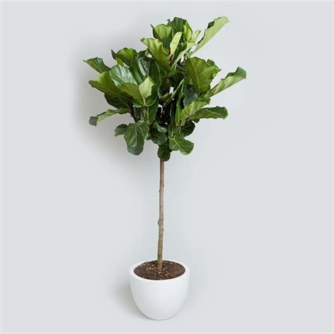 ficus lyrata ficus lyrata piante da interno ficus