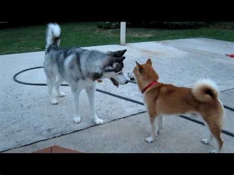 dogs similar to husky what is this breed called yahoo answers breeds picture breeds picture